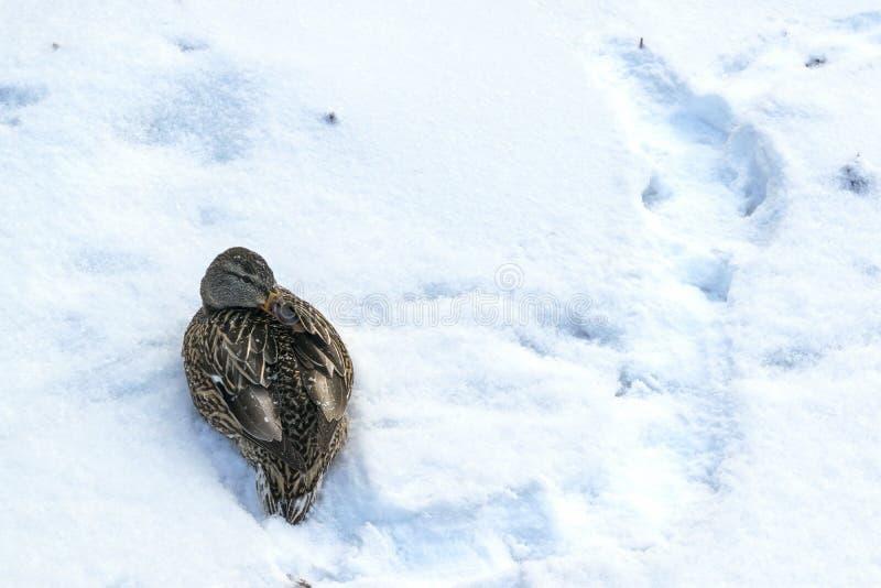 Gli uccelli si congelano nell'inverno L'anatra ha nascosto il becco fotografie stock