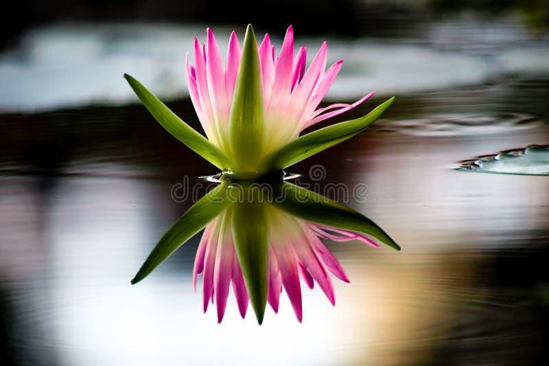 Gli zoticoni perfezionano la riflessione nell'acqua fotografia stock