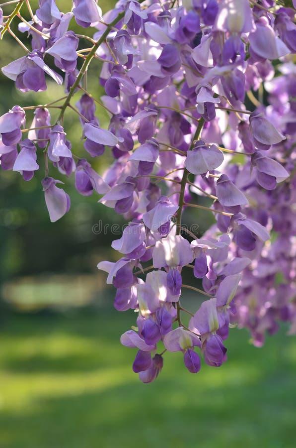 Glicínia de florescência no jardim japonês, Japão foto de stock royalty free