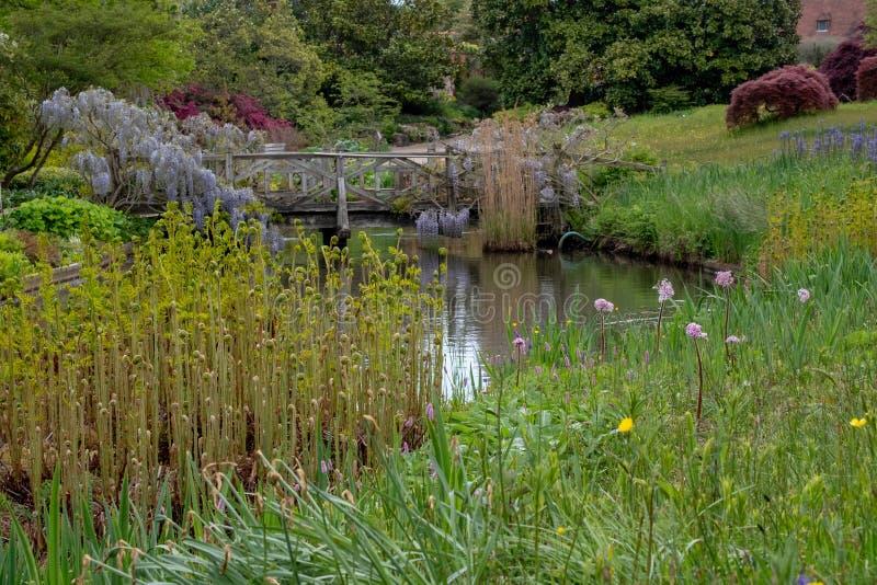 Glicine fiorite porpora che scavalcano un ponte al RHS Wisley, giardino della societ? orticola reale, Surrey, Regno Unito della n fotografia stock