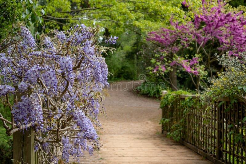 Glicine fiorite porpora che scavalcano un ponte al RHS Wisley, giardino della societ? orticola reale, Surrey, Regno Unito della n fotografia stock libera da diritti