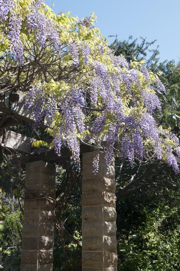 Glicinia floreciente púrpura en el enrejado que cubre un patio imagen de archivo libre de regalías