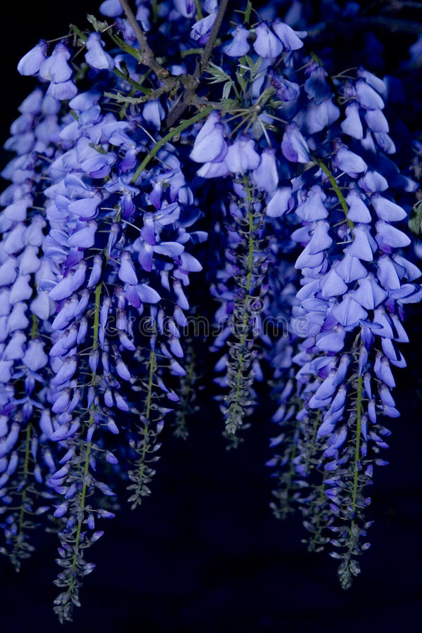Glicinias en la noche foto de archivo