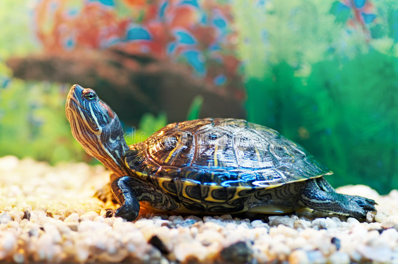 glidaresköldpadda arkivbilder