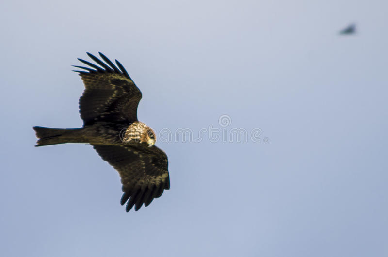 The Glider. A black kite (also known as black-eared kite) searching for food around Chobhar's jungle royalty free stock photography
