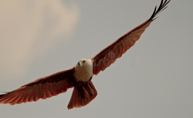 Gliding eagle royalty free stock photography