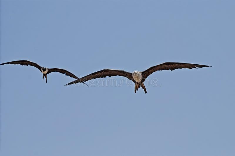 Gliding frigate birds stock image
