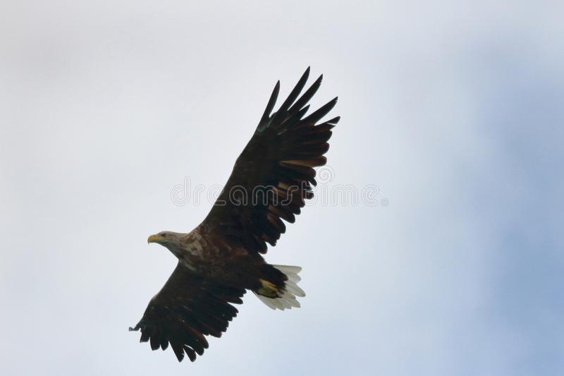 Gliding high in Lofoten`s sky. Sea eagle turning in the sky for catching his prey, Lofoten islands, arctic, Norway royalty free stock images