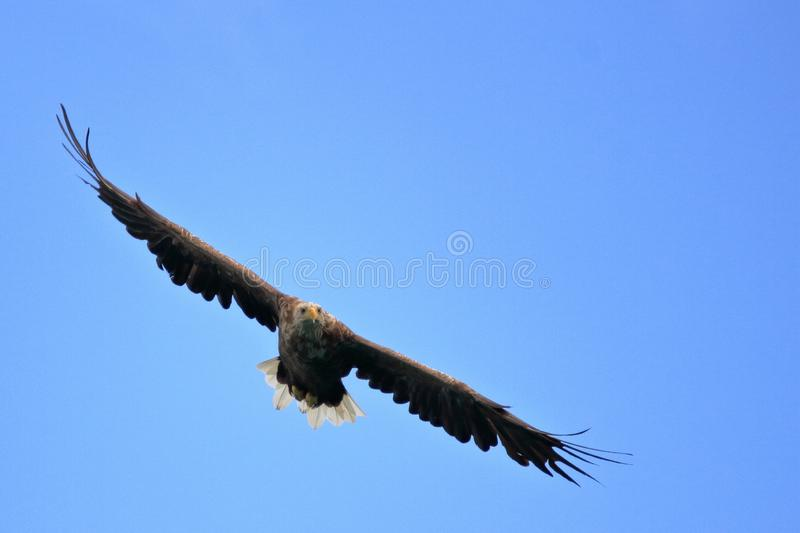 Gliding in Lofoten`s sky. Sea eagle gliding sky for catching his prey, Lofoten islands, arctic, Norway royalty free stock image