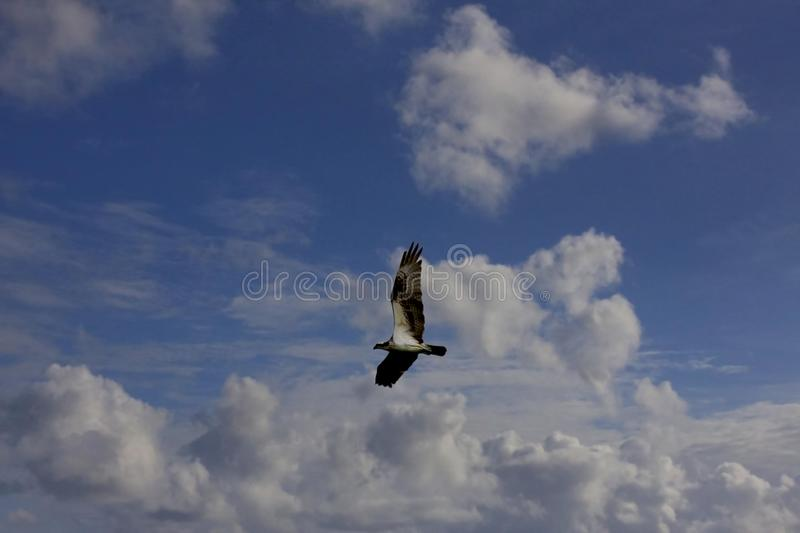 Gliding Osprey stock photography