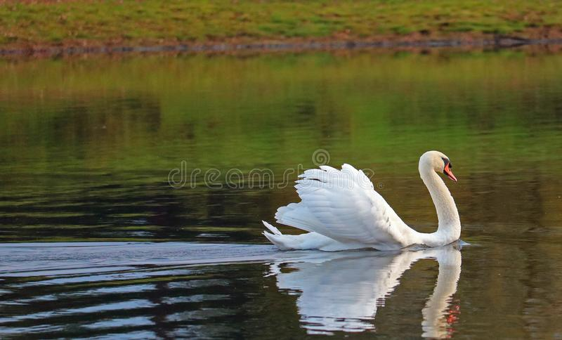 Gliding swan with feathers raised. Displaying. A mute swan Cygnus olor gliding across a still lake. The swan has raised feathers as it is displaying to other