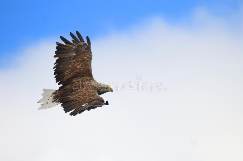 Gliding in white and blue summer sky of Lofoten. Sea eagle gliding high in the blue and white sky of Lofoten islands, arctic archipelago situated in northern stock photography