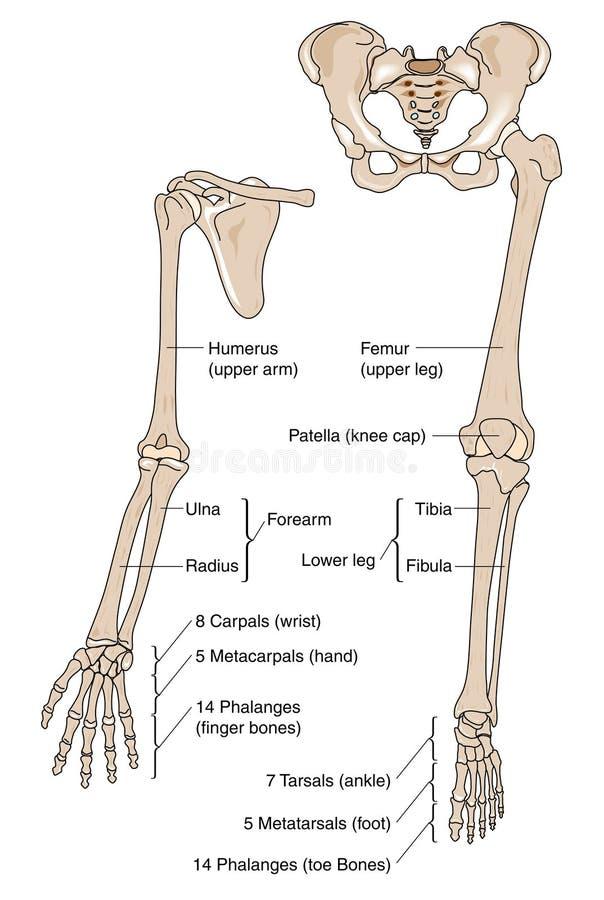 Fein Knochen In Armen Bilder - Menschliche Anatomie Bilder ...