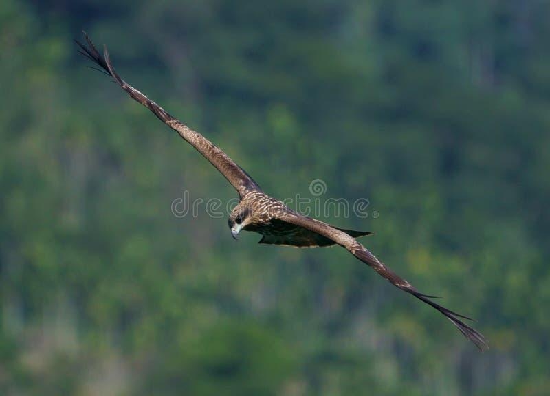 Glijdende de jacht Zwarte Vlieger stock fotografie
