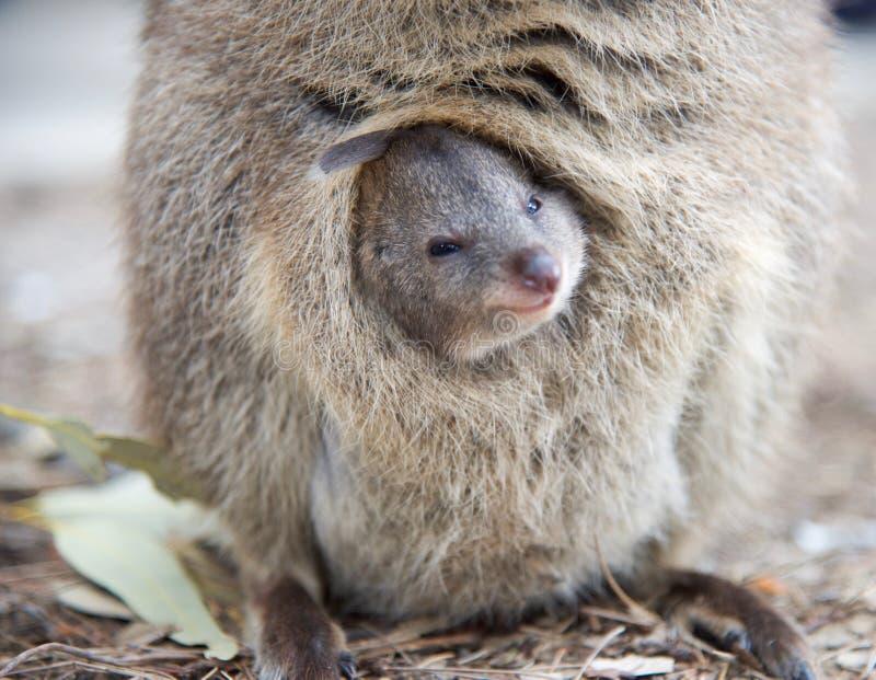 Glimlachende Baby Quokka stock fotografie