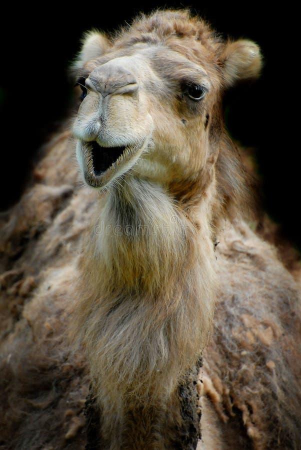 Glimlachende dromedaris royalty-vrije stock fotografie
