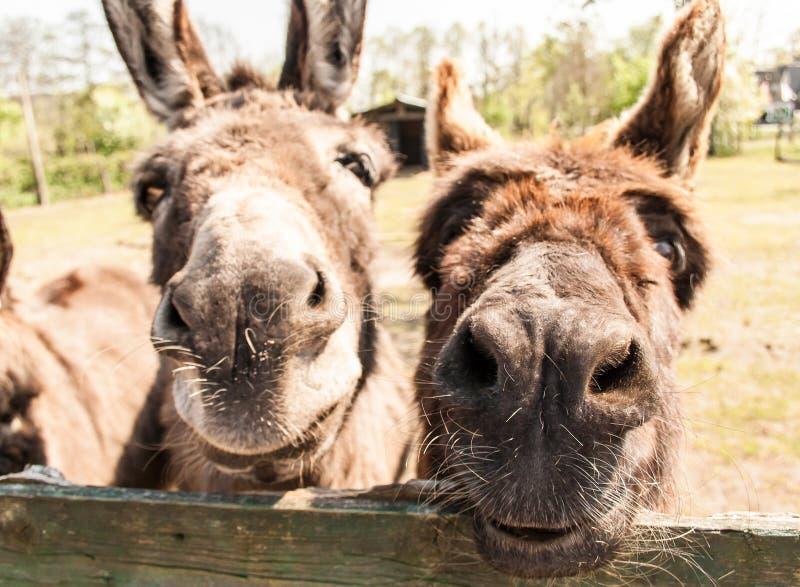 Glimlachende ezels royalty-vrije stock afbeeldingen