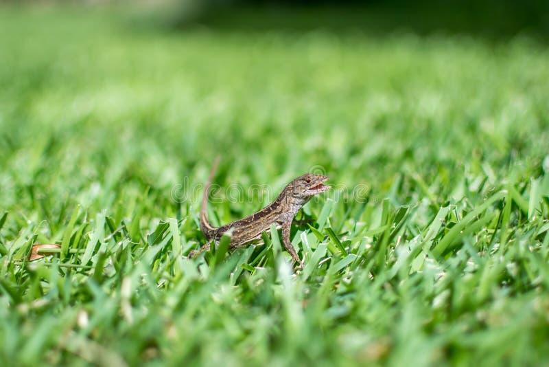 Glimlachende gekko stock fotografie