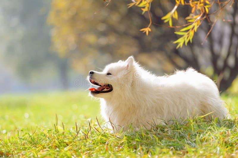 Glimlachende gelukkige Samoyed-hond stock foto's