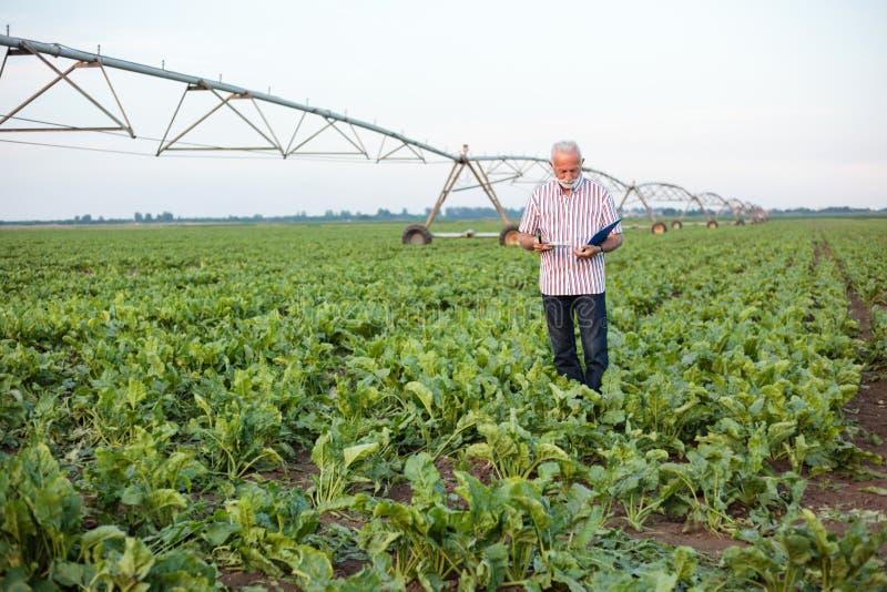 Glimlachende grijze haired hogere agronoom of landbouwer die en grondsteekproeven op een soja of suikerbietgebied nemen onderzoek stock fotografie