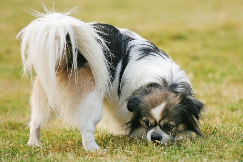 Glimlachende hond Papillon royalty-vrije stock foto