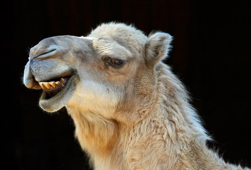 Glimlachende kameel stock fotografie