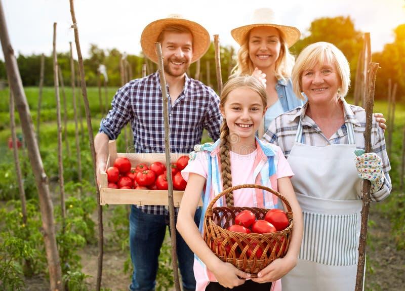 Glimlachende landbouwers die tomaten plukken royalty-vrije stock afbeelding