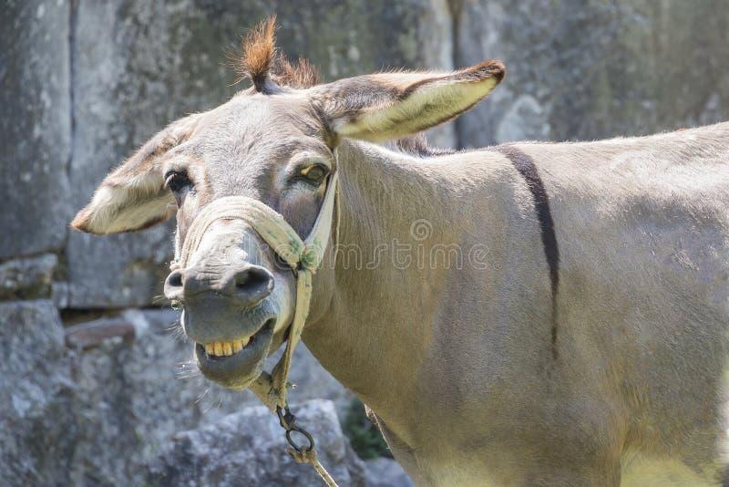 Glimlachende muilezel royalty-vrije stock afbeelding