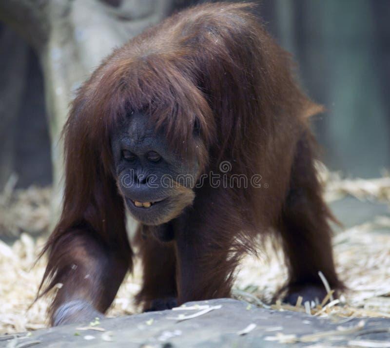 Glimlachende orangoetan stock afbeelding