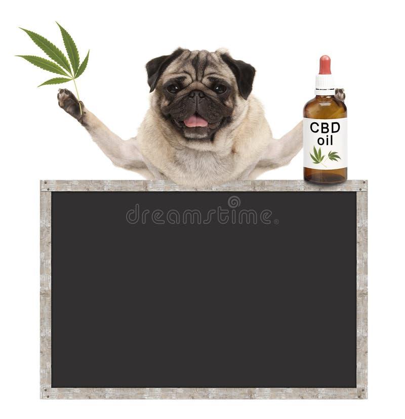 Glimlachende pug puppyhond, houdend fles van CBD-olie en hennepblad, met leeg bordteken royalty-vrije stock foto's