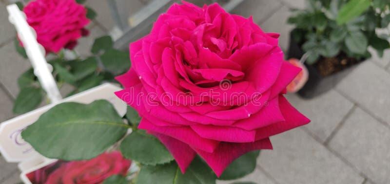 Glimlachende roze bloem royalty-vrije stock afbeelding