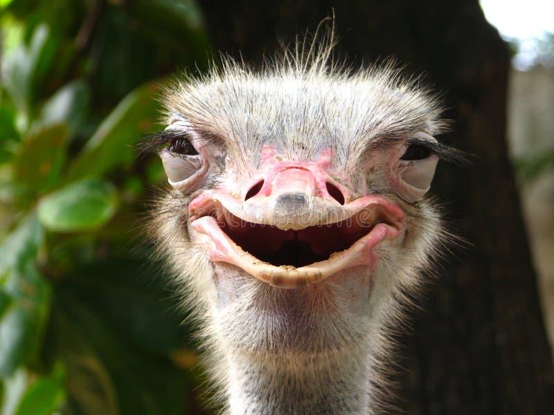 Glimlachende Struisvogel royalty-vrije stock foto's