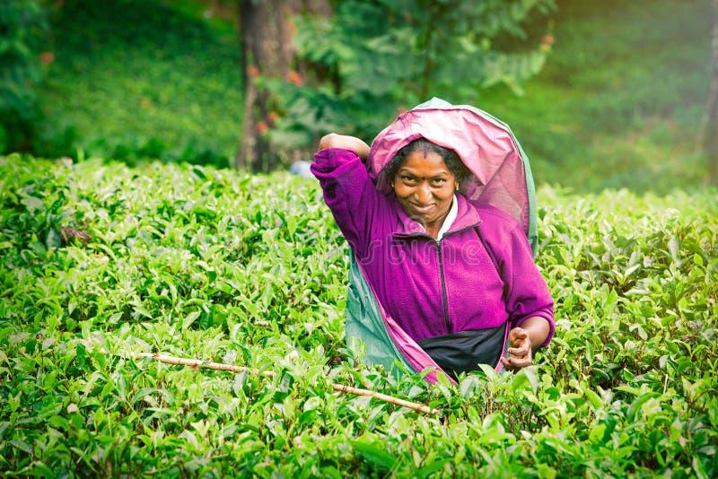 Glimlachende vrouw die aan de theeaanplanting van Sri Lankan werken