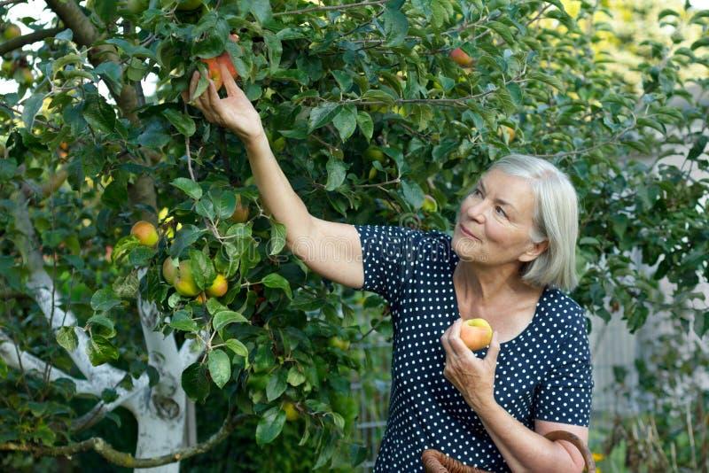 Glimlachende vrouw het plukken appelentuin stock foto's