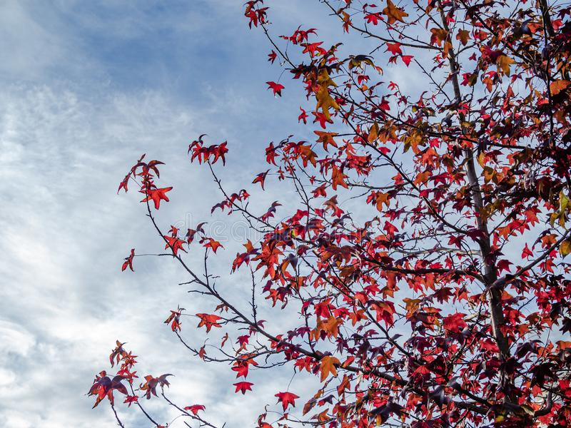 Glimpse of red-leaf maple tree. With background of overcast sky stock photo