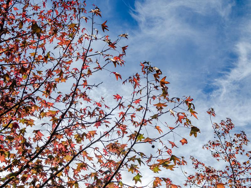 Glimpse of red-leaf maple tree. With background of overcast sky royalty free stock photos