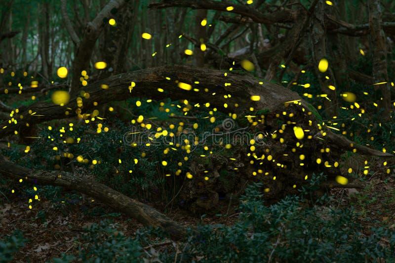 Glimwormen in de zomer bij het feebos stock afbeelding