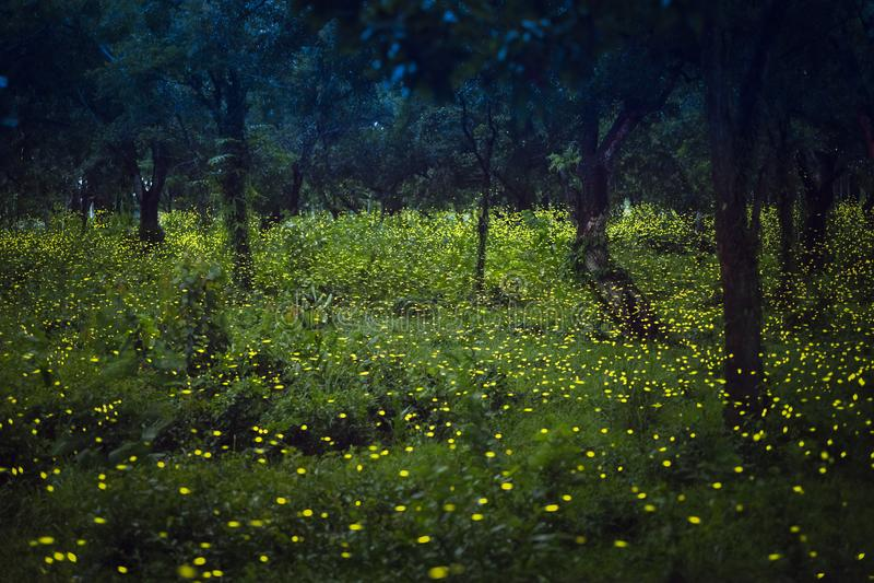 Glimwormen die in het bos bij schemering vliegen stock foto