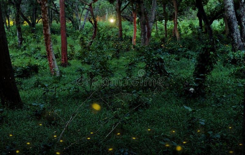 Glimwormen in een tropisch bos stock afbeeldingen