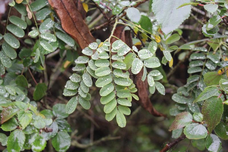 Glistening droplets on Tamarind leaves. Silver droplets on Tamarind leaves royalty free stock photography
