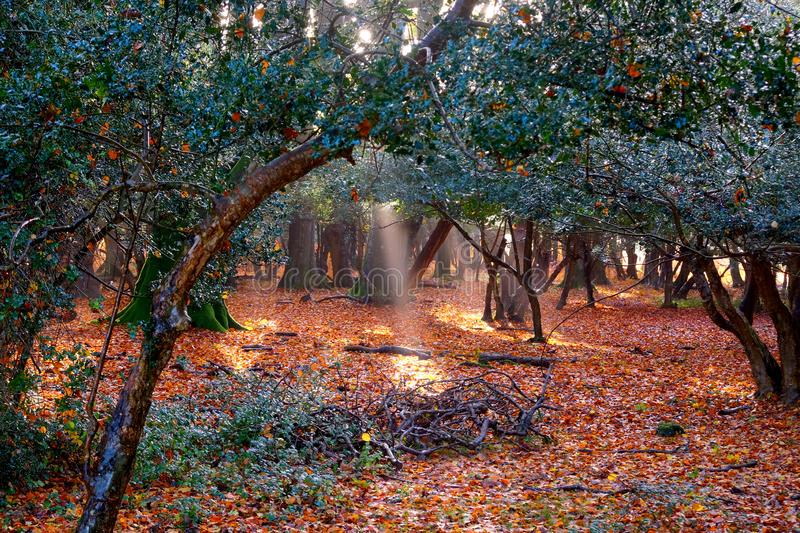 Glistening golden trees in a forest in the autumn with the sunlight beaming through the trees New Forest England UK stock photography