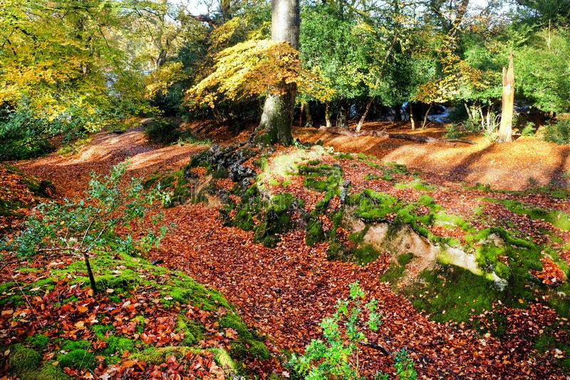 Glistening golden trees and tree roots in a forest in the autumn trees New Forest England UK stock photo