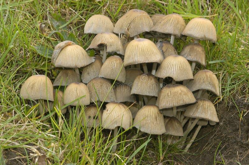 Glistening Ink Cap Fungi. Coprinus micaceus with Slug stock photo