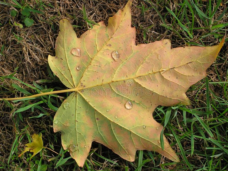 Download Glistening Maple Leaf stock image. Image of halloween - 1385667