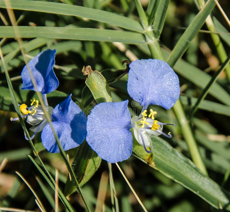 Glittery blå Dayflower arkivfoton
