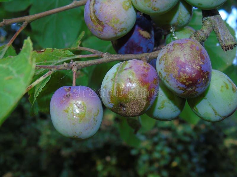 Glittra ekollonar och sidor i den Hertfordshire parklanden arkivbild