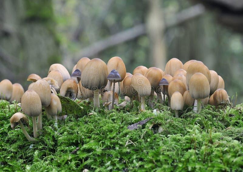 Glitzernde Tinten-Schutzkappen-Pilze lizenzfreies stockfoto