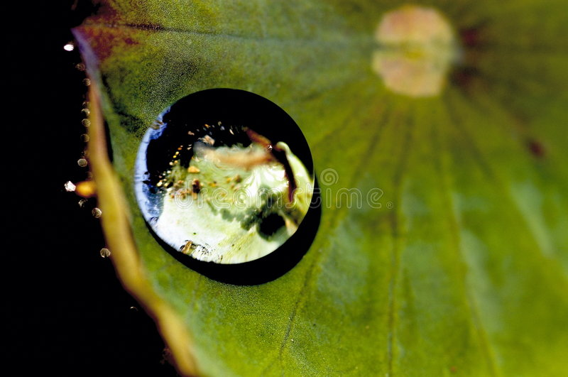 glob выходит лотос стоковое фото rf