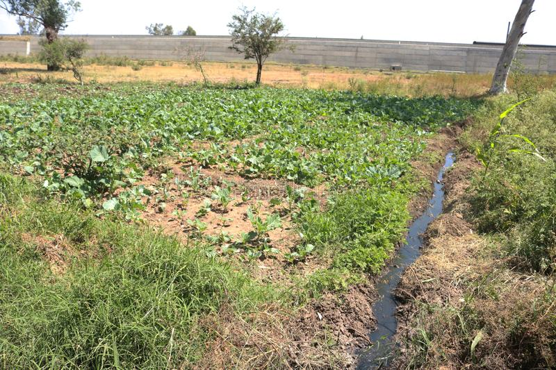 Global warming irrigating vegetable gardens using raw sewage. Global warming erratic and scarce rainfall has forced desperate African farmers to irrigate their stock image