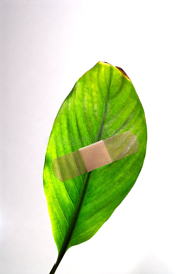 Global warming leaf bandaged. A band aid on a green leaf on white background royalty free stock image